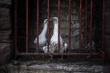 Two gannets sheltering in surrounds of a lighthouse gannets,Northern gannet,bird,birds,island,habitat,seabird,seabirds,bars,gate,gated,Gannet,Morus bassanus,Aves,Birds,Pelicans and Cormorants,Pelecaniformes,Chordates,Chordata,Ciconiiformes,Herons Ibise