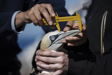 Northern gannet having its bill measured gannets,Northern gannet,bird,birds,coast,coastal,coastline,conservationist,human,people,ranger,monitoring,bill,measurements,health check,Gannet,Morus bassanus,Aves,Birds,Pelicans and Cormorants,Peleca