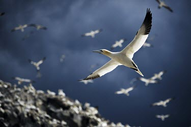 Northern gannet flying over its colony gannets,Northern gannet,bird,birds,flying,flight,seabird,seabirds,action,motion,sea,ocean,oceans,coast,coastal,coastline,wingspan,wings,Gannet,Morus bassanus,Aves,Birds,Pelicans and Cormorants,Pelecan