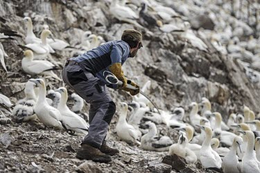 Warden catching Northern gannet to ring for monitoring gannets,Northern gannet,bird,birds,coast,coastal,coastline,conservationist,human,people,ranger,tagging,monitoring,Gannet,Morus bassanus,Aves,Birds,Pelicans and Cormorants,Pelecaniformes,Chordates,Chor