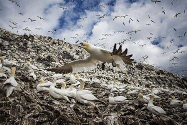 Northern gannet flying over its colony gannets,Northern gannet,bird,birds,flying,flight,seabird,seabirds,action,motion,sea,ocean,oceans,coast,coastal,coastline,colony,Gannet,Morus bassanus,Aves,Birds,Pelicans and Cormorants,Pelecaniformes,
