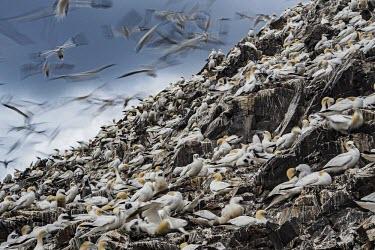 A colony of Northern gannets gannets,Northern gannet,bird,birds,flying,flight,seabird,seabirds,action,motion,sea,ocean,oceans,coast,coastal,coastline,colony,Gannet,Morus bassanus,Aves,Birds,Pelicans and Cormorants,Pelecaniformes,