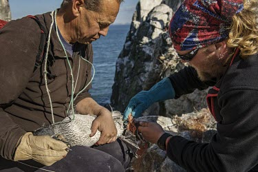 Volunteers carefully cut free a juvenile Northern gannet entangled in nylon fishing net gannets,Northern gannet,bird,birds,coast,coastal,coastline,human impact,pollution,ghost fishing,entangled,discard,rubbish,plastic,plastics,waste,fishing line,fishing net,threat,environmental threats,e