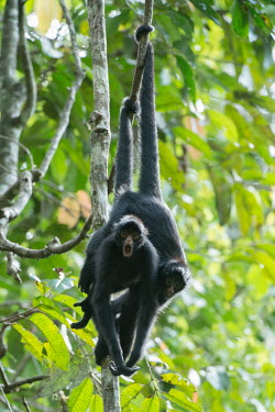 Peruvian spider monkeys hanging from vines monkey,monkeys,primate,primates,arboreal,mammal,mammals,vertebrate,vertebrates,spider monkey,shocked,alarm,alarmed,surprised,excited,hanging,jungle,jungles,rainforest,forest,tropical,Amazon,prehensile
