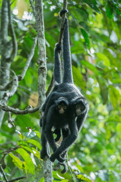 Peruvian spider monkeys hanging from vines monkey,monkeys,primate,primates,arboreal,mammal,mammals,vertebrate,vertebrates,spider monkey,hanging,jungle,jungles,rainforest,forest,tropical,Amazon,prehensile,courting,couple,pair,Peruvian spider mo