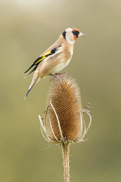 A goldfinch perched on a teasel finch,bird,birds,colourful,pattern,patterned,mask,masked,shallow focus,Autumn,teasel,Dipsacus fullonum,perched,perching,Goldfinch,Carduelis carduelis,Perching Birds,Passeriformes,Chordates,Chordata,Av