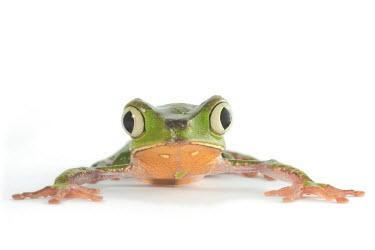 White-lined leaf frog White-lined leaf frog,leaf frog,Animalia,Chordata,Amphibia,Anura,Phyllomedusidae,Phyllomedusa vaillantii,close up,portrait,frog,frogs,amphibian,amphibians,eye,eyes,skin,pigment,pigmentation,colourful,