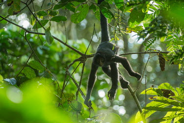 A Peruvian spider monkey hanging in the in the Amazon rainforest canopy monkey,monkeys,primate,primates,arboreal,mammal,mammals,vertebrate,vertebrates,spider monkey,hanging,jungle,jungles,rainforest,forest,tropical,Amazon,prehensile,shallow focus,canopy,Peruvian spider mo