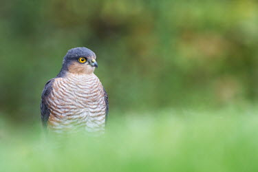 A male sparrowhawk bird of prey,birds of prey,predator,talons,carnivore,hunter,raptor,portrait,shallow focus,green background,yellow,eyes,negative space,bird,birds,Eurasian sparrowhawk,Accipiter nisus,Chordates,Chordata