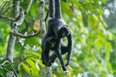 Male and female Peruvian spider monkeys stick together in the Amazon rainforest monkey,monkeys,primate,primates,arboreal,mammal,mammals,vertebrate,vertebrates,spider monkey,hanging,jungle,jungles,rainforest,forest,tropical,Amazon,prehensile,courting,couple,Peruvian spider monkey,