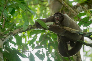 A male woolly monkey yawning in the rainforest canopy woolly monkey,monkey,monkeys,primate,primates,arboreal,mammal,mammals,vertebrate,vertebrates,jungle,jungles,rainforest,forest,tropical,Amazon,yawn,yawning,tired,Geoffroy's woolly monkey,Lagothrix cana