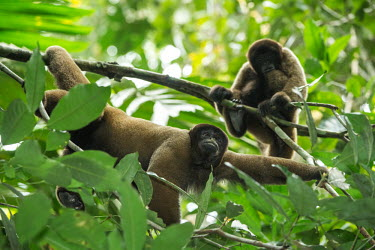 Woolly monkeys in the Amazon rainforest woolly monkey,monkey,monkeys,primate,primates,arboreal,mammal,mammals,vertebrate,vertebrates,jungle,jungles,rainforest,forest,tropical,Amazon,bored,Geoffroys woolly monkey,Lagothrix cana,Geoffroy's wo