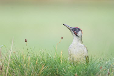 Portrait of a green woodpecker Animalia,Chordata,Aves,Piciformes,Picidae,Picus viridis,portrait,shallow focus,green background,bird,birds,field,grass,woodpecker,wood pecker,Green woodpecker,background,clean,clear,england,green,maga