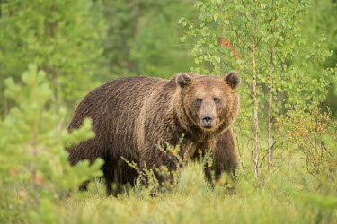 A huge male European brown bear staring at the camera bear,bears,forest,forests,trees,woodland,mammal,mammals,vertebrate,vertebrates,terrestrial,omnivore,furry,fur,looking at camera,Brown bear,Ursus arctos,Carnivores,Carnivora,Bears,Ursidae,Chordates,Cho