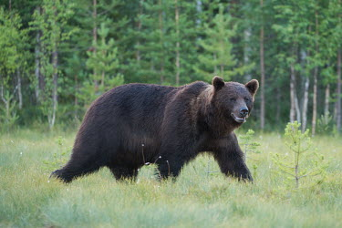 A male brown bear walking through a woodland clearing bear,bears,forest,forests,woodland,mammal,mammals,vertebrate,vertebrates,terrestrial,omnivore,furry,fur,male,Brown bear,Ursus arctos,Carnivores,Carnivora,Bears,Ursidae,Chordates,Chordata,Mammalia,Mamm