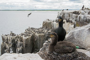 An adult and juvenile shag on their nest on the Farne Islands bird,birds,down feather,feathers,plumage,young,juvenile,chick,rocks,coast,coastal,coastline,seabird,seabirds,shags,nesting,nest,roost,roosting,colony,ringed,Shag,Phalacrocorax aristotelis,Ciconiiforme