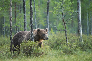 A male brown bear emerging from the forest bear,bears,forest,forests,trees,woodland,mammal,mammals,vertebrate,vertebrates,terrestrial,omnivore,furry,fur,roaming,Brown bear,Ursus arctos,Carnivores,Carnivora,Bears,Ursidae,Chordates,Chordata,Mamm