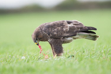 A common buzzard in a field eating a pigeon bird of prey,birds of prey,predator,talons,carnivore,hunter,raptor,portrait,shallow focus,green background,bird,birds,eating,feeding,kill,prey,Common buzzard,Buteo buteo,Aves,Birds,Chordates,Chordata,