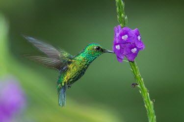 A small hummingbird hovering in front of a purple flower Animalia,Chordata,Aves,Caprimulgiformes,Trochilidae,hummingbird,hummingbirds,tropical,bird,birds,flower,fluid feeding,shallow focus,motion,action,green background,flowers,nectar,shiny,metallic,flying,