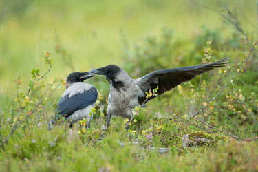 Two hooded crows arguing crow,crows,bird,birds,fight,fighting,argument,rival,rivalry,shallow focus,green background,Hooded crow,Corvus cornix,Corvus corone cornix,Chordates,Chordata,Crows, Ravens, Jays,Corvidae,Aves,Birds,Per