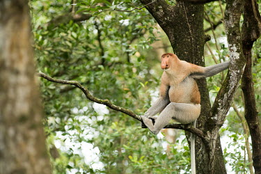 A male proboscis monkey sat in a tree monkey,monkeys,primate,primates,arboreal,mammal,mammals,vertebrate,vertebrates,jungle,jungles,rainforest,forest,tropical,nose,male,Proboscis monkey,Nasalis larvatus,Mammalia,Mammals,Old World Monkeys,