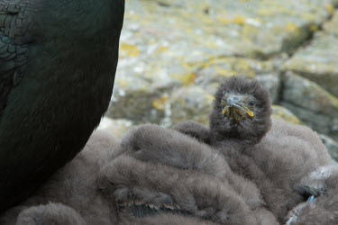 A shag chick in a bundle of its fluffy siblings bird,birds,down feather,feathers,plumage,young,chick,chicks,brood,coast,coastal,coastline,seabird,seabirds,shags,nesting,nest,roost,roosting,tired,grumpy,Shag,Phalacrocorax aristotelis,Ciconiiformes,H