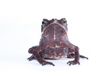 South American common toad South American common toad,Animalia,Chordata,Amphibia,Anura,Bufonidae,Rhinella margaritifera,toad,toads,white background,portrait,wart,warts,skin,grumpy,amazon,amazonia,clear,eye contact,frog,jungle,p
