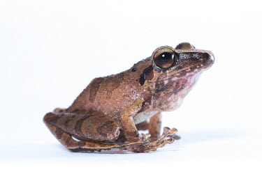 Pristimantis frog,frogs,white background,portrait,throat,vocal sac,throat sac,male,close up,amphibian,amphibians,Pristimantis,Pristimantis reichlei,Chordates,Chordata,Amphibians,Amphibia,Strabomantidae,Anura,Frogs