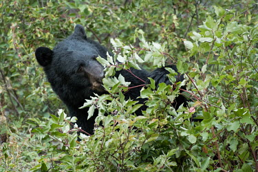 A female black bear foraging in Alberta, Canada black bear,bear,bears,forest,forests,trees,woodland,mammal,mammals,vertebrate,vertebrates,terrestrial,omnivore,foraging,berries,eating,feeding,American black bear,Ursus americanus,Carnivores,Carnivora
