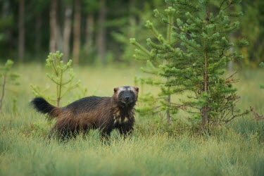 A wolverine in the clearing of woodland forest,forests,trees,woodland,mammal,mammals,vertebrate,vertebrates,terrestrial,looking at camera,mustelid,carnivore,Wolverine,Gulo gulo,Mammalia,Mammals,Carnivores,Carnivora,Weasels, Badgers and Otte