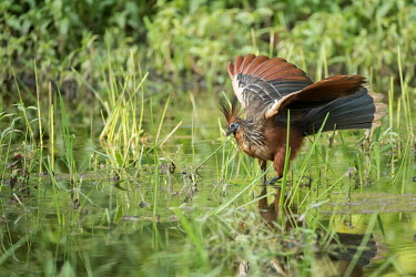 A hoatzin bird hunting in shallow water Hoatzin,Animalia,Chordata,Aves,Opisthocomiformes,Opisthocomidae,Opisthocomus hoazin,bird,ancient,prehistoric,relic,old world,wetland,marsh,fishing,amazon,amazonia,blue,brown,hoatzin,mangrove,rainfores