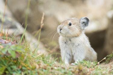 An incredibly cute pika in Alberta, Canada Animalia,Chordata,Mammalia,Lagomorpha,Ochotonidae,Ochotona,mammal,mammals,vertebrate,vertebrates,terrestrial,fur,furry,cute,whiskers,pika,Pika,adorable,alberta,banff,banff national park,canada,canadia