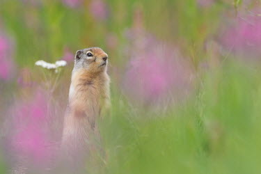 Ground squirrel surveying its territory in Alberta, Canada Richardson's ground squirrel,Animalia,Chordata,Mammalia,Rodentia,Sciuridae,Urocitellus richardsonii,ground squirrel,shallow focus,field,meadow,spring,purple,green,cute,alert,squirrel,rodent,rodents,pr