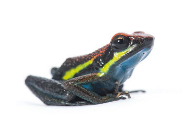 Manu poison dart frog Man� poison frog,Animalia,Chordata,Amphibia,Anura,Dendrobatidae,Ameerega,Ameerega macero,close up,portrait,frog,frogs,amphibian,amphibians,skin,pigment,pigmentation,white background,colourful,colours,