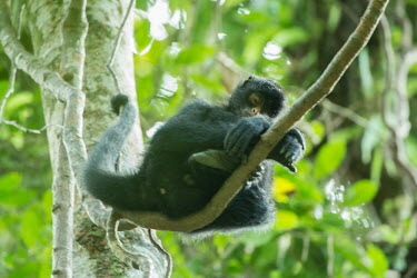 Peruvian spider monkey resting in the canopy monkey,monkeys,primate,primates,arboreal,mammal,mammals,vertebrate,vertebrates,spider monkey,hanging,jungle,jungles,rainforest,forest,tropical,Amazon,sleeping,asleep,nap,nap time,cute,rest,resting,tir