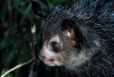 Close up of an aye-aye aye aye,primate,primates,lemur,lemurs,endemic,Madagascar,tropical,rainforest,arboreal,nocturnal,night,night time,close up,Aye-aye,Daubentonia madagascariensis,Daubentonia madagascarensis,Mammalia,Mamm
