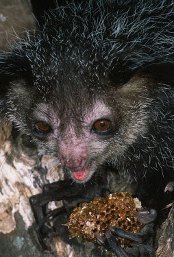 An aye-aye feeding on honeycomb aye aye,primate,primates,lemur,lemurs,endemic,Madagascar,tropical,rainforest,arboreal,nocturnal,night,night time,close up,Aye-aye,Daubentonia madagascariensis,Daubentonia madagascarensis,Mammalia,Mamm