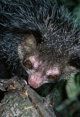 An aye-aye extracting grub from underneath bark aye aye,primate,primates,lemur,lemurs,endemic,Madagascar,tropical,rainforest,arboreal,nocturnal,night,night time,close up,Aye-aye,Daubentonia madagascariensis,Daubentonia madagascarensis,Mammalia,Mamm
