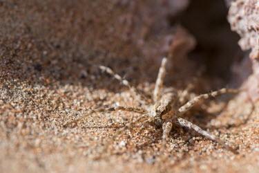 A spider in the Arabian desert Animalia,Arthropoda,Arachnida,Araneae,Clubionidae,Clubiona,Clubiona subsultans,spider,spiders,invertebrate,invertebrates,arachnid,arachnids,close up,macro,shallow focus,sand,desert,arid,dry,predator,a