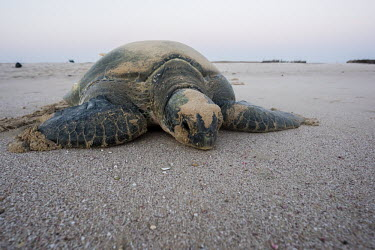 Green turtle returning to the ocean after nesting sea turtle,sea turtles,turtle,turtles,shell,reptile,reptiles,beach,nesting,layign,egg laying,nest,beached,coast,coastal,coast line,sand,Green turtle,Chelonia mydas,Chordates,Chordata,Reptilia,Reptiles