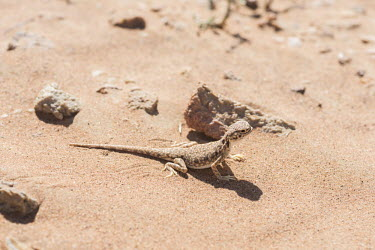 Arabian toad-headed agama in the Arabian desert lizard,lizards,reptile,reptiles,scales,scaly,reptilia,terrestrial,close up,desert,agama,sunbathing,basking,dry,arid,sand,sand dune,dunes,camouflage,camouflaged,Arabian toad-headed agama,Phrynocephalus