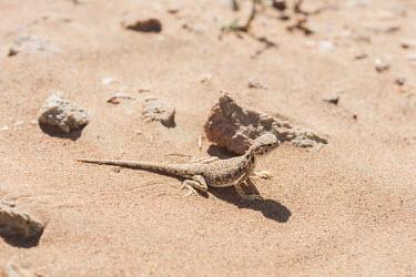 Arabian toad-headed agama in the Arabian desert lizard,lizards,reptile,reptiles,scales,scaly,reptilia,terrestrial,close up,desert,agama,sunbathing,basking,dry,arid,sand,sand dune,dunes,camouflage,camouflaged,Arabian toad-headed agama,Phrynocephalus