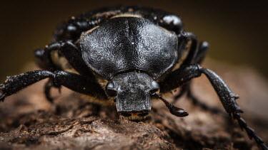 Close up of a variable chafer Variable chafer,chafer,Animalia,Arthropoda,Insecta,Coleoptera,Scarabaeidae,Gnorimus,Gnorimus variabilis,macro,close up,shallow focus,beetle,beetles,insect,insects,invertebrate,invertebrates,face,anten