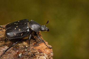 Close up of a variable chafer Variable chafer,chafer,Animalia,Arthropoda,Insecta,Coleoptera,Scarabaeidae,Gnorimus,Gnorimus variabilis,macro,close up,shallow focus,green background,beetle,beetles,insect,insects,invertebrate,inverte