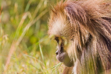 A gelada eating grass monkey,monkeys,geladas,portrait,face,close up,hairy,hair,grass,eating,feeding,Gelada,Theropithecus gelada,Chordates,Chordata,Old World Monkeys,Cercopithecidae,Mammalia,Mammals,Primates,Gelada baboon,G