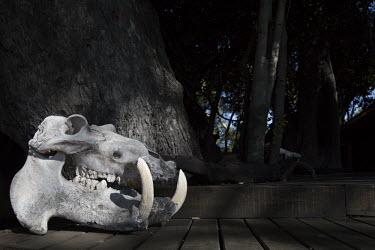 The skull of a hippopotamus hippo,hippos,skull,skeleton,mouth,jaw,tooth,teeth,tusk,tusks,Hippopotamus,Hippopotamus amphibius,Hippopotamidae,Hippopotamuses,Mammalia,Mammals,Even-toed Ungulates,Artiodactyla,Chordates,Chordata,Hipp