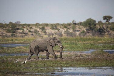 An elephant walking through wetland elephant,elephants,trunk,trunks,herbivores,herbivore,vertebrate,mammal,mammals,terrestrial,Africa,African,savanna,savannah,safari,rwetland,wet land,flood plain,floodplain,floodplains,crane,cranes,watt