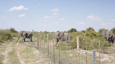 A herd of elephants trample over a farmers fence obstructing their path elephant,elephants,trunk,trunks,herbivores,herbivore,vertebrate,mammal,mammals,terrestrial,Africa,African,savanna,savannah,safari,argiriculture,conflict,human conflict,human impact,territory,migratory