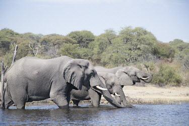 A herd of elephants drinking elephant,elephants,trunk,trunks,herbivores,herbivore,vertebrate,mammal,mammals,terrestrial,Africa,African,savanna,savannah,safari,river,rivers,drinking,drink,thirsty,water,freshwater,stream river,wate