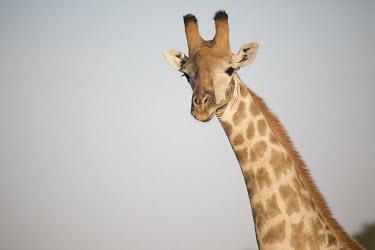 Portrait of a Southern giraffe Southern giraffe,Giraffa giraffa,giraffes,two-horned giraffe,giraffa,herbivores,herbivore,vertebrate,mammal,mammals,terrestrial,Africa,African,savanna,savannah,safari,pattern,patterned,neck,tall,portr